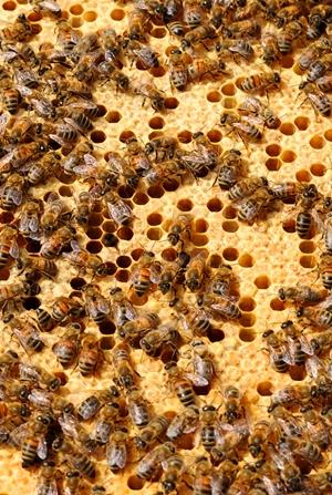 Merus Beehive