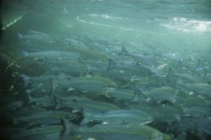 Salmon closely crowded together in an aquaculture
