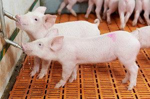 Piglets get water