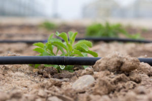 Drip irrigation - the water reach the plant only