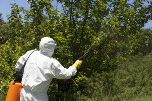 spraying a cherry tree